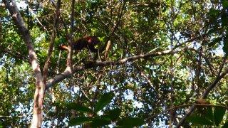 Singe hurleur – Parc naturel Yasuni en Amazonie, Equateur