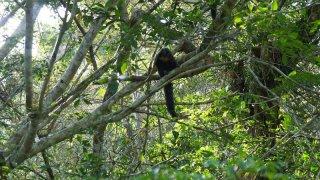 Singe Saki – Réserve naturelle du Rio Napo, Equateur