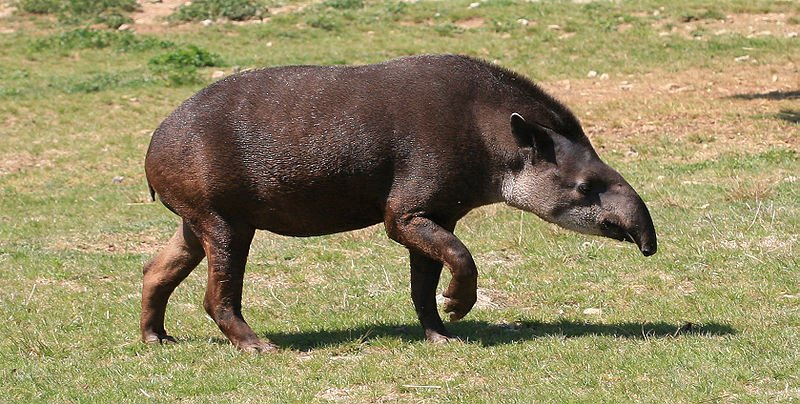 Tapir du Parc Corcovado – Costa Rica