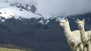 La photo clichée par excellence, les alpagas prenant la pose avec les montagnes ! Trek Vinicunca