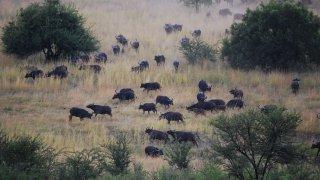 Troupeau de buffles dévalant la pente au parc Hluhluwe-iMfolosi
