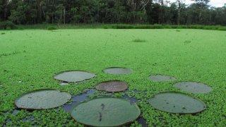 Victoria Regia, marécage forêt amazonienne, Pérou