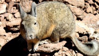 Viscacha – Bolivie