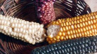 Le maïs dans toute sa diversité